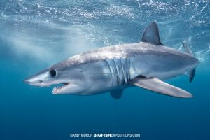 Snorkeling with Mako Sharks in Mexico.