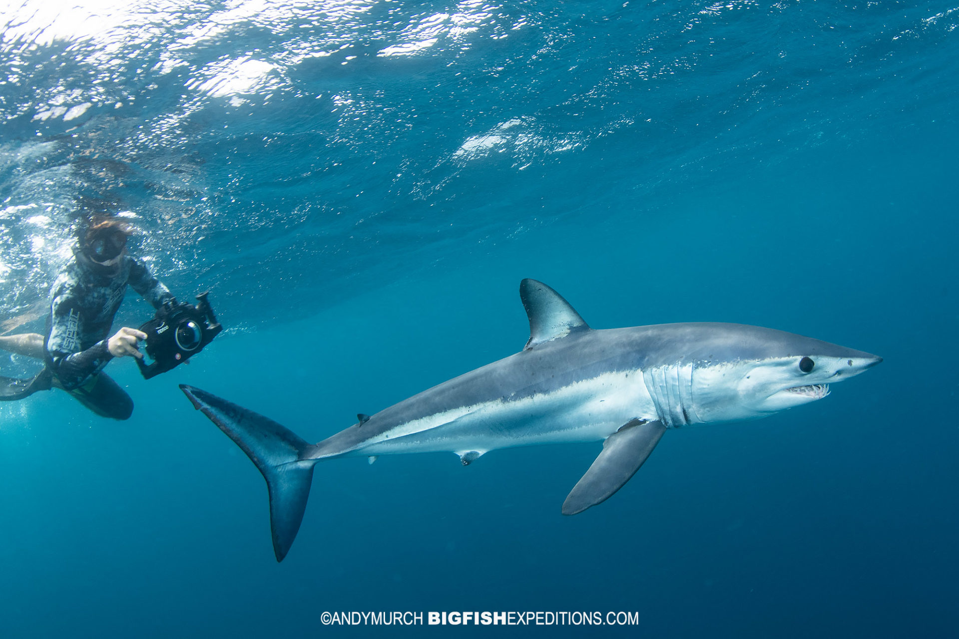 Snorkeling with makos and blue sharks.