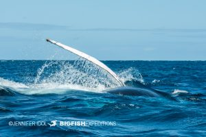 Pectoral fin slapping with humpback whale