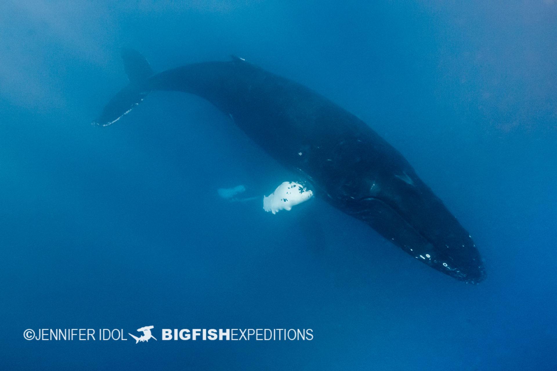 male humpback whale