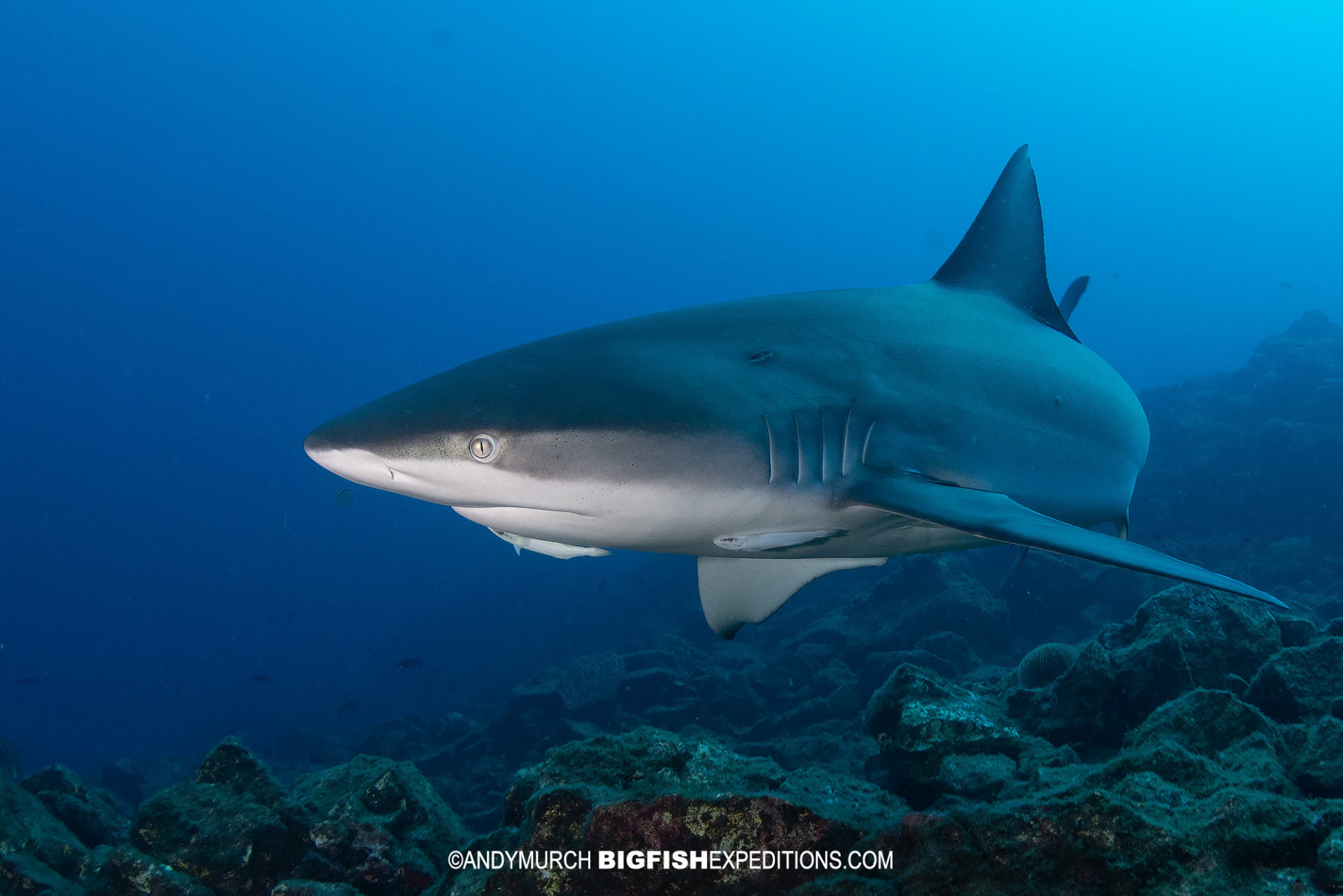Galapagos Shark diving at Roca Partida in Socorro.