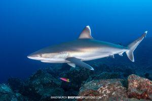 Silvertip Shark diving in Socorro