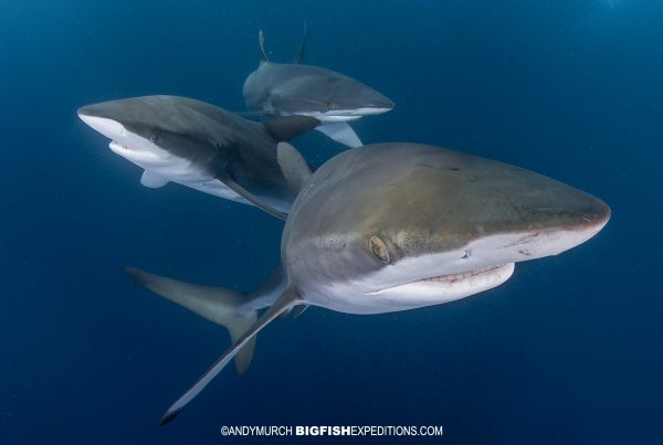 Diving with Silky Sharks in Socorro.