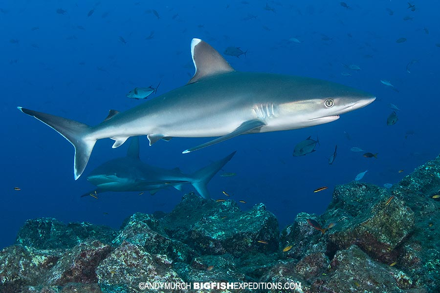 Silvertip Sharks diving