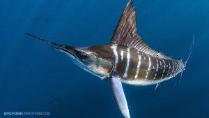 Striped marlin snorkel