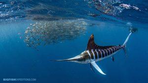 Striped Marlin Snorkeling