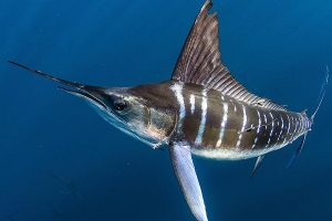 Striped Marlin snorkeling expedition