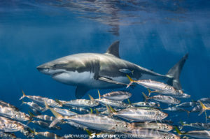 Great White Shark Caage Diving