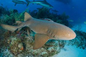Nurse Shark at Tiger Beach