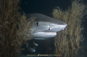 Tiger Shark in the bushes.