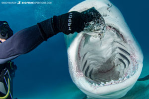 Feeding a tiger shark