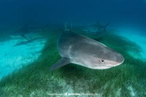 Tiger Sharks at Tiger Beach