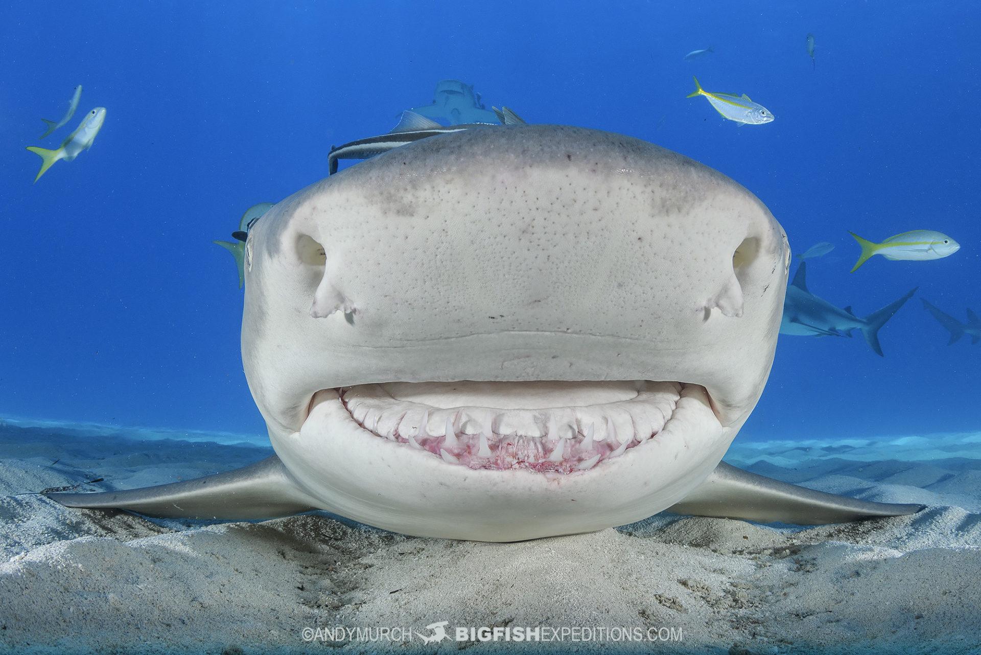 Lemon Shark check-out dive