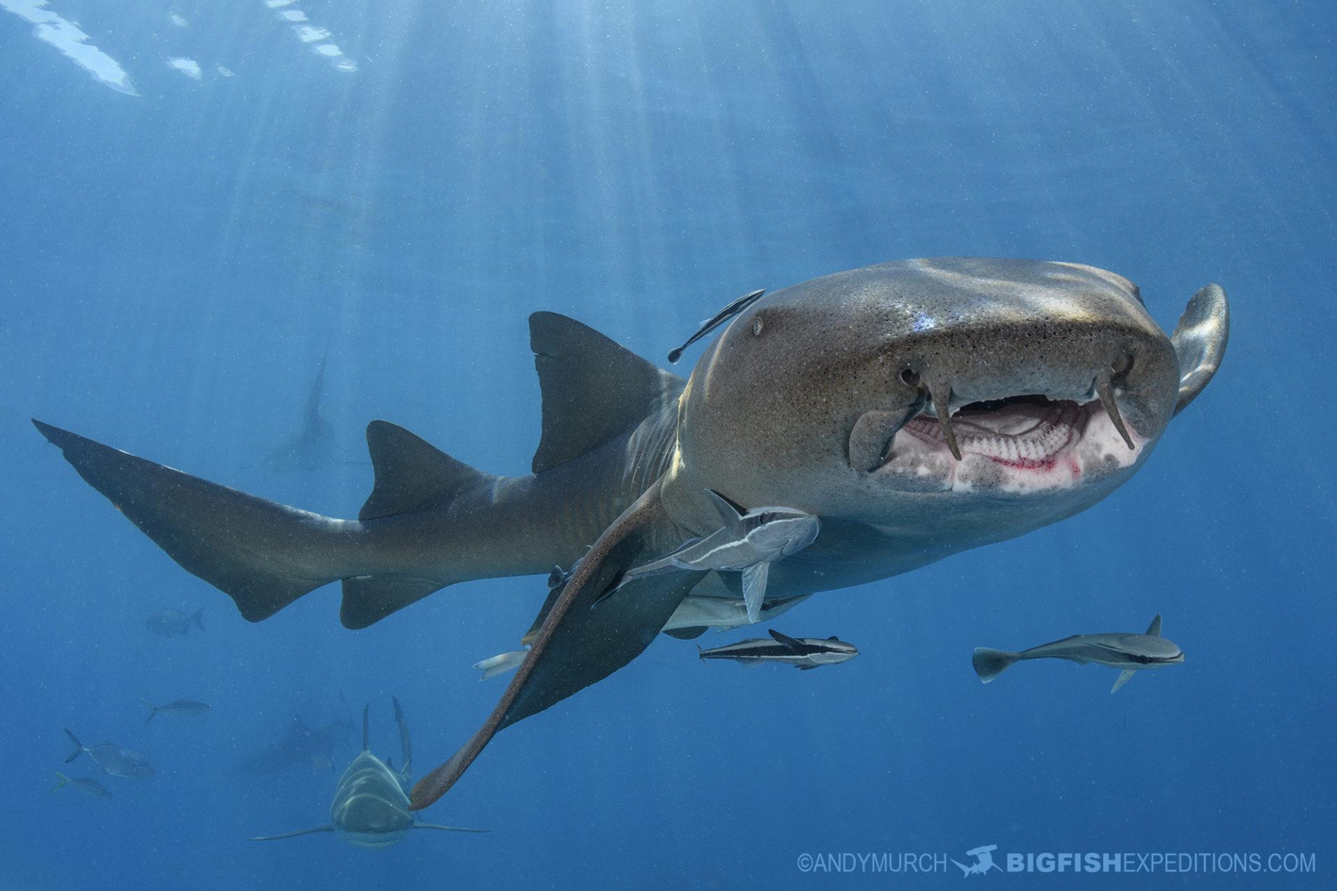 Nurse shark diving at Tiger Beach