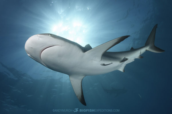 Tiger Beach Shark Diving 2021. Tiger sharks, lemon sharks, nurse sharks, bull sharks, and Caribbean Reef Sharks.