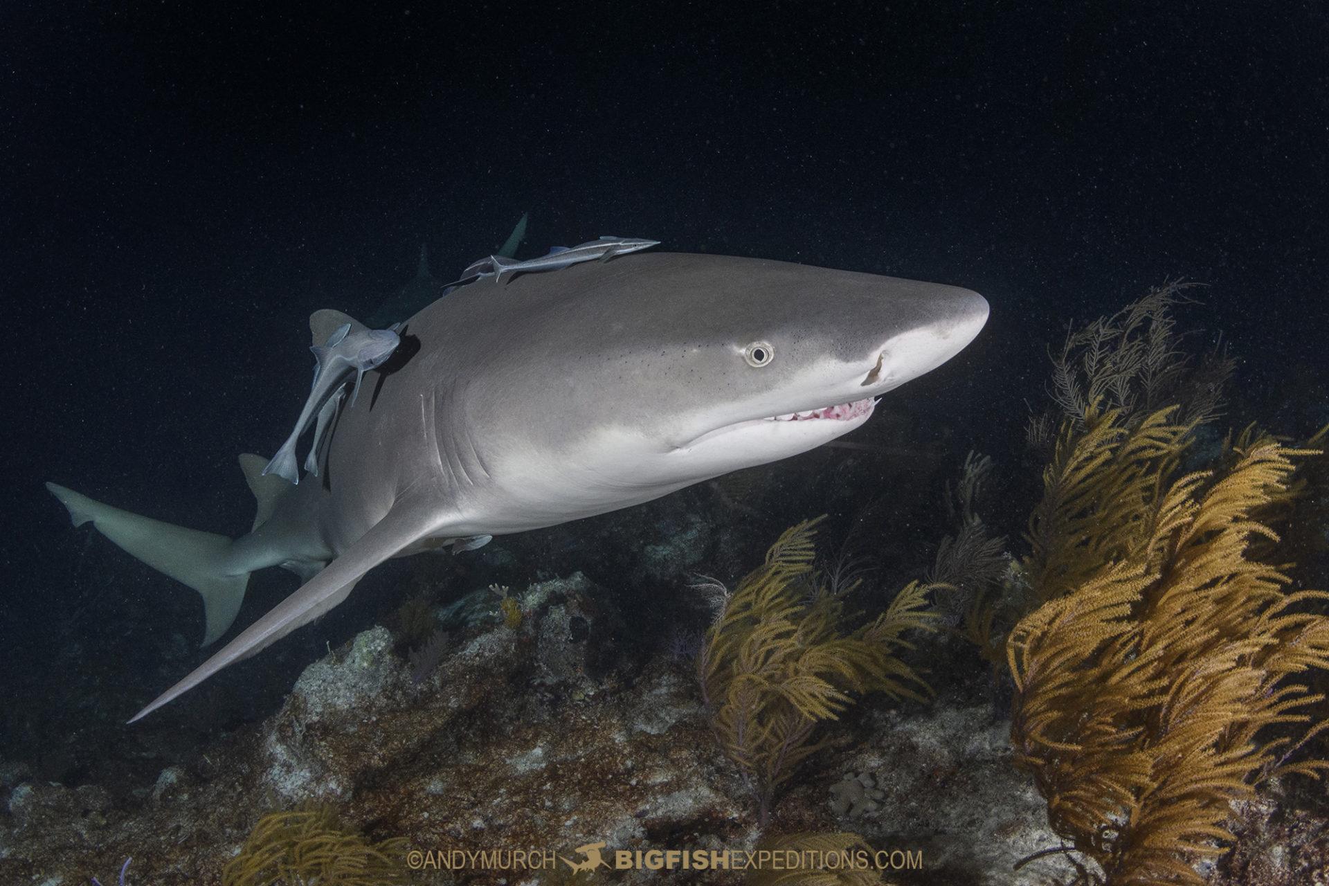 Lemon shark on a night dive at Tiger Beach
