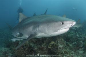 Tiger shark at Fish Tales, Tiger Beach.