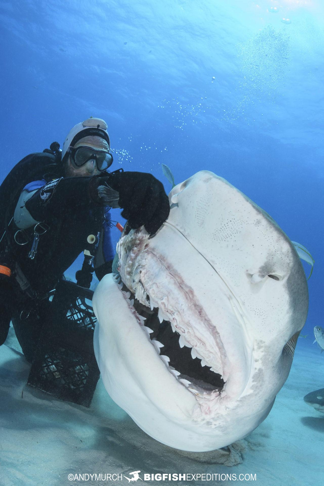 Feeding a large tiger shark at Tiger Beach