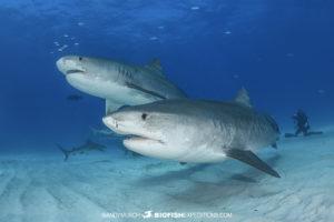 Tiger Beach Shark Diving 2021
