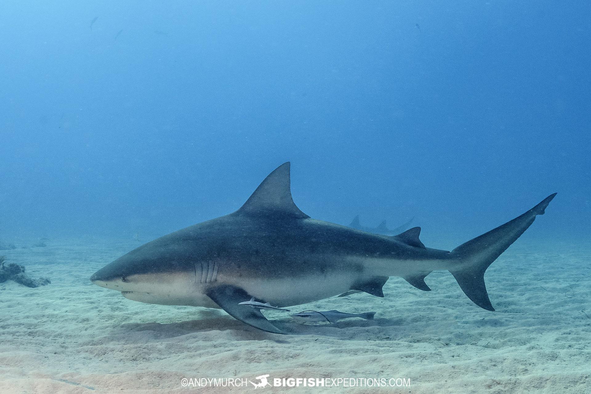Bull shark at Tiger Beach 2021
