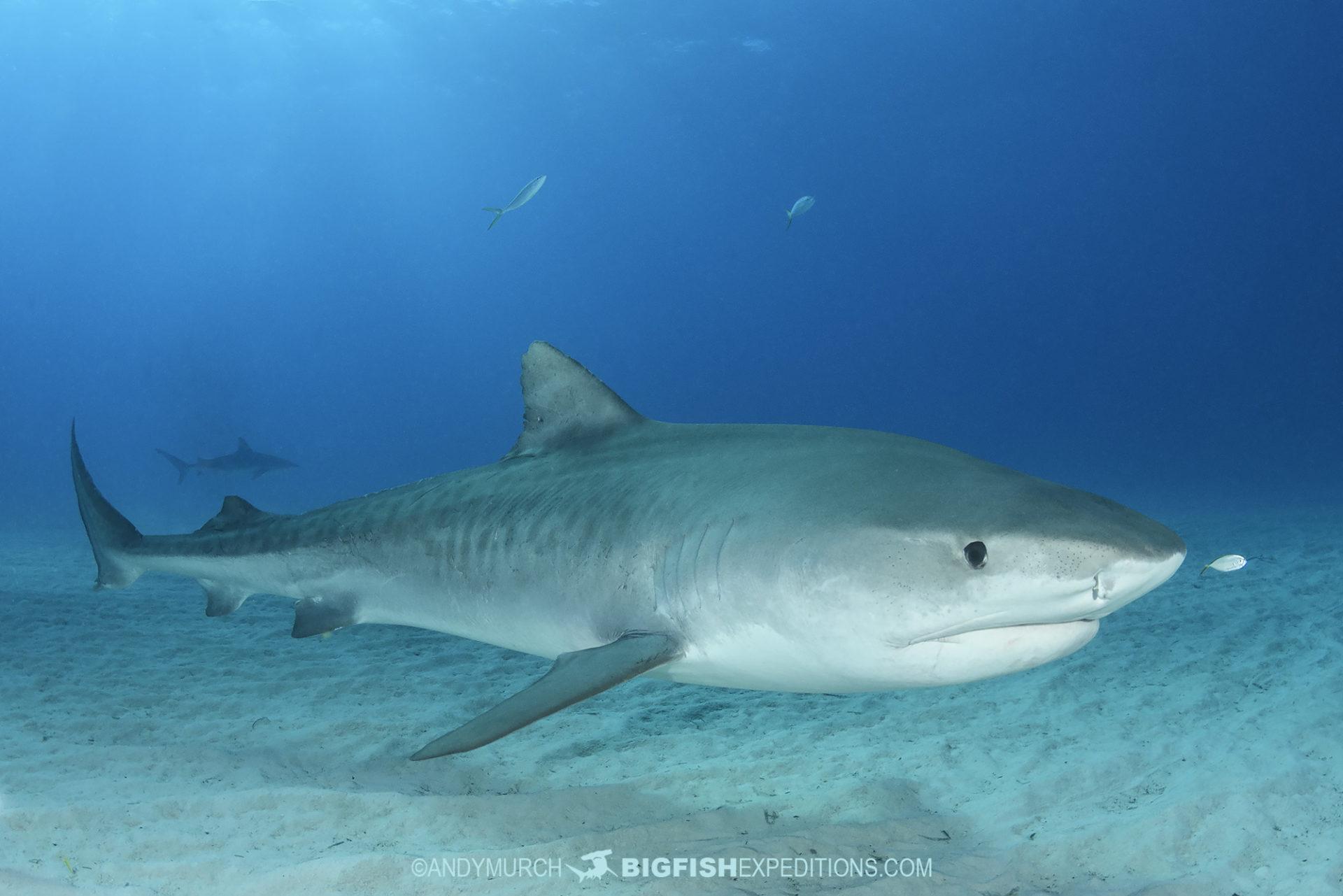 Emma the Tiger Shark 2021