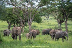 African Elephants in Murchison River Park
