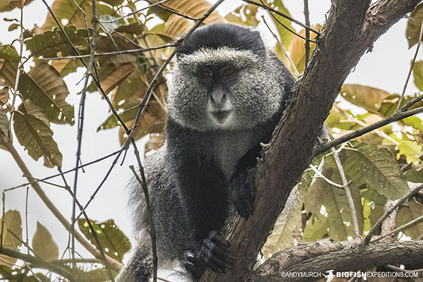 Blue Monkey in Bwindi