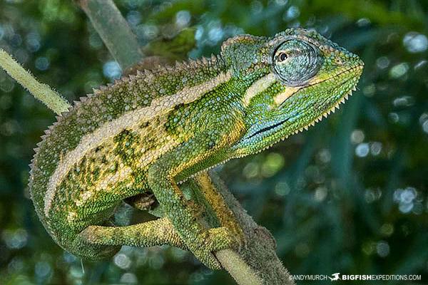 Chameleon in Uganda