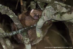 East African Potto