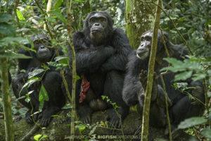 Eastern Chimpanzees