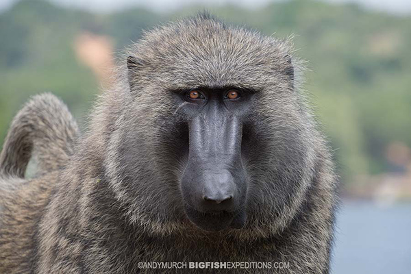 Olive baboon in Uganda