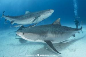 Tiger Shark diving at Tiger Beach