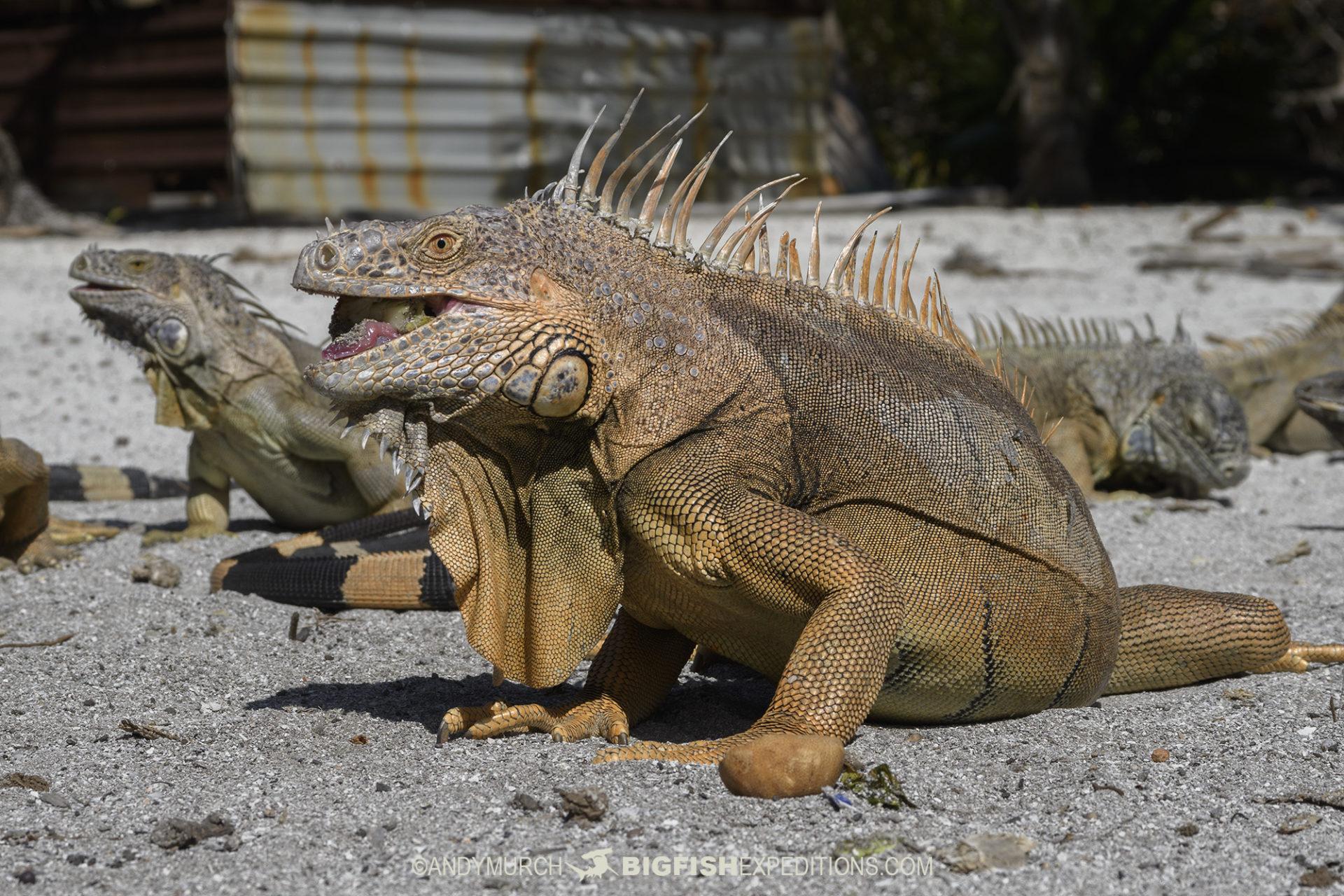 Chinchorro Iguanas