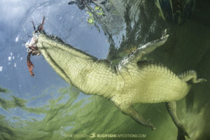 Crocodile eating a lionfish