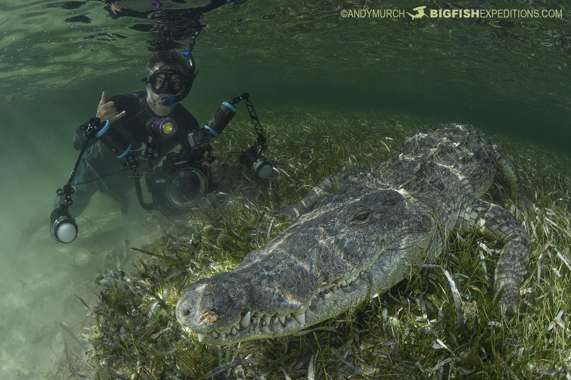Crocodile and diver