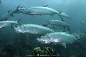 Tarpon diving