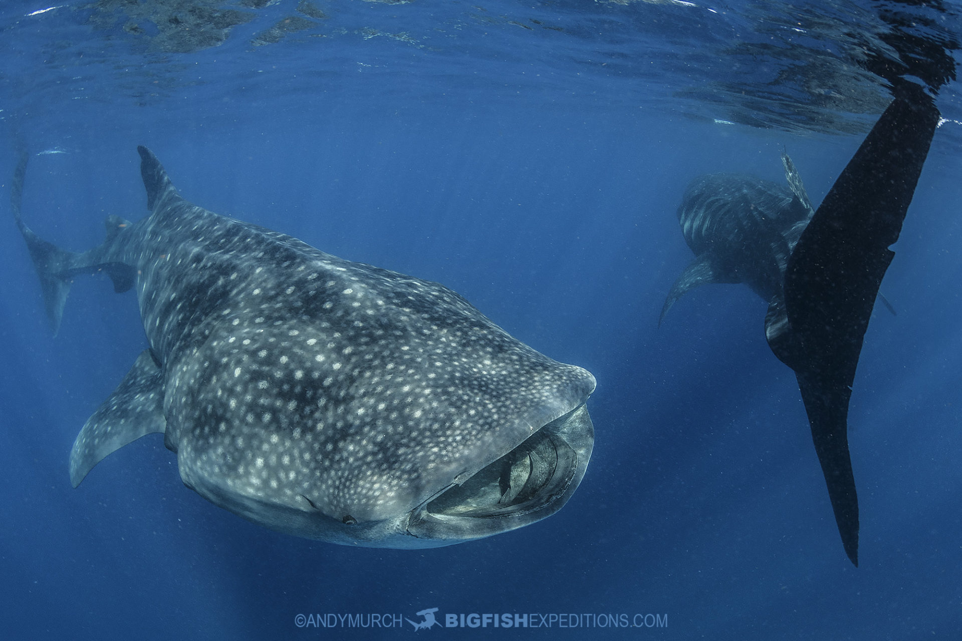 Swimming with whale sharks in Mexico.