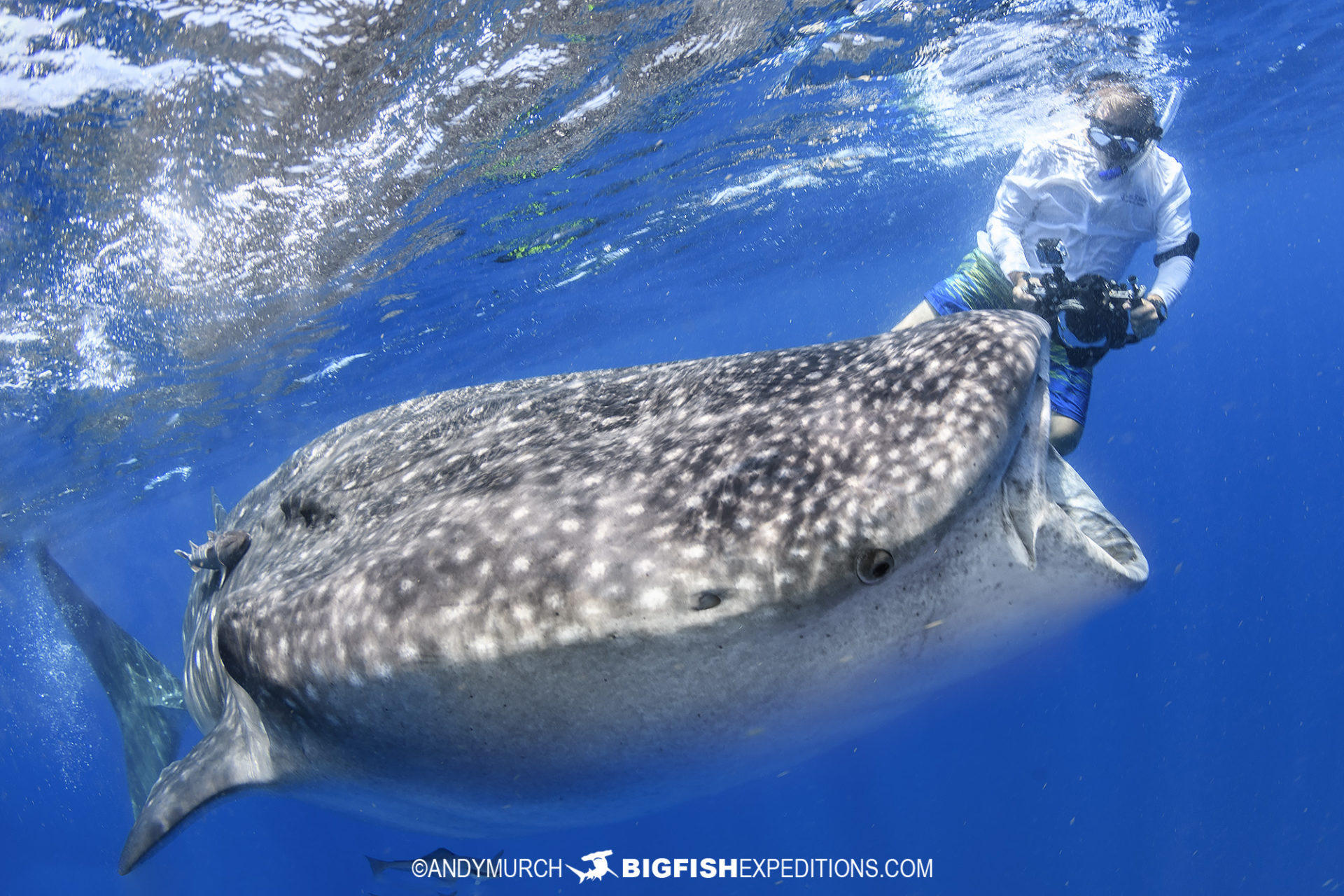 Photographing whale sharks while snorkeling.