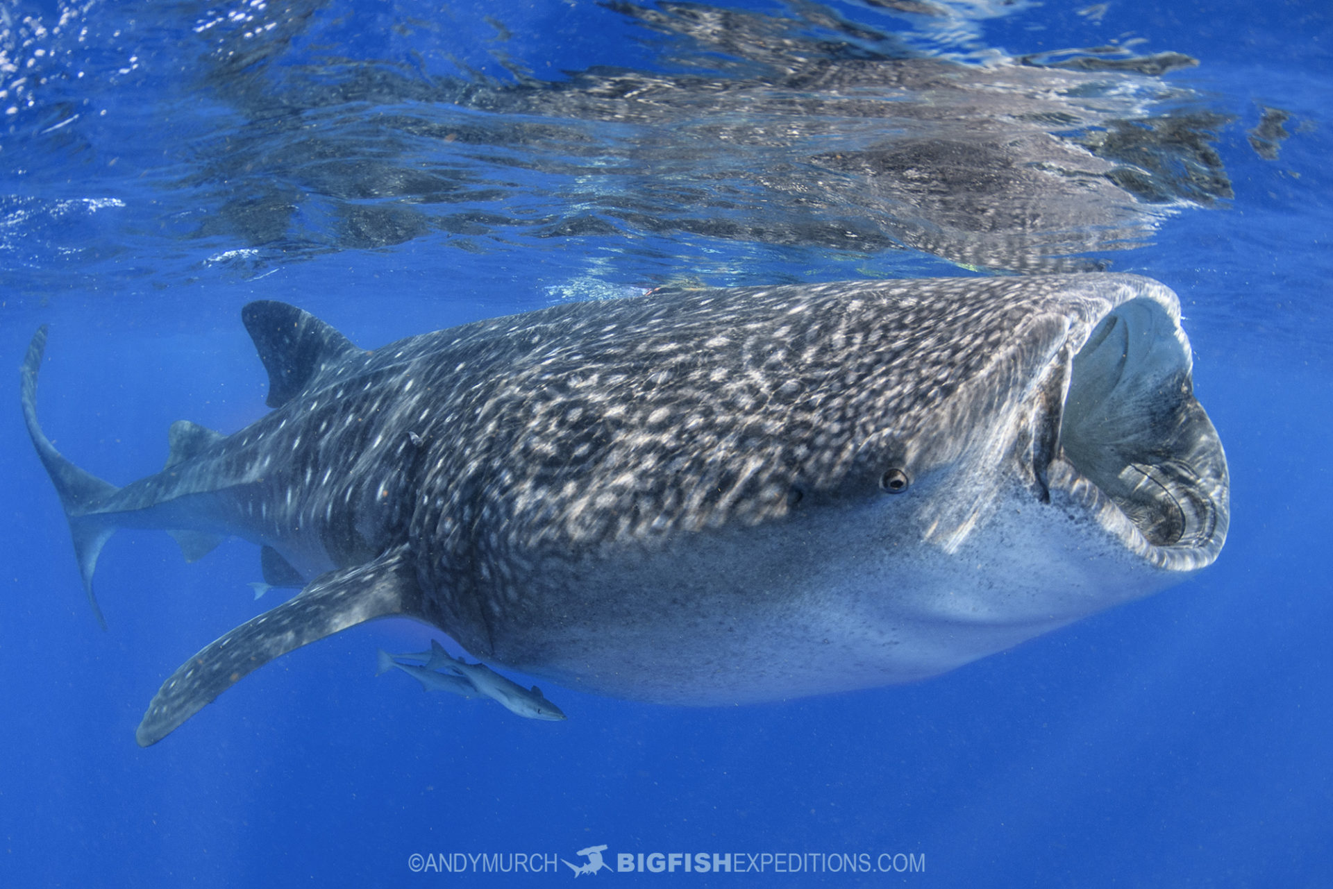 Snorkeling with Whale Sharks in Mexico.