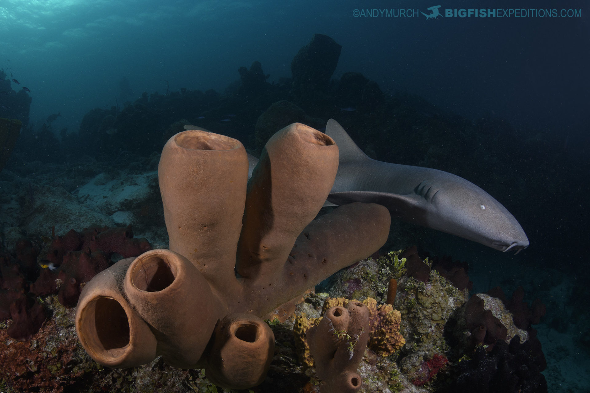 Nurse Shark on a beautiful reef at Chinchorro Atoll