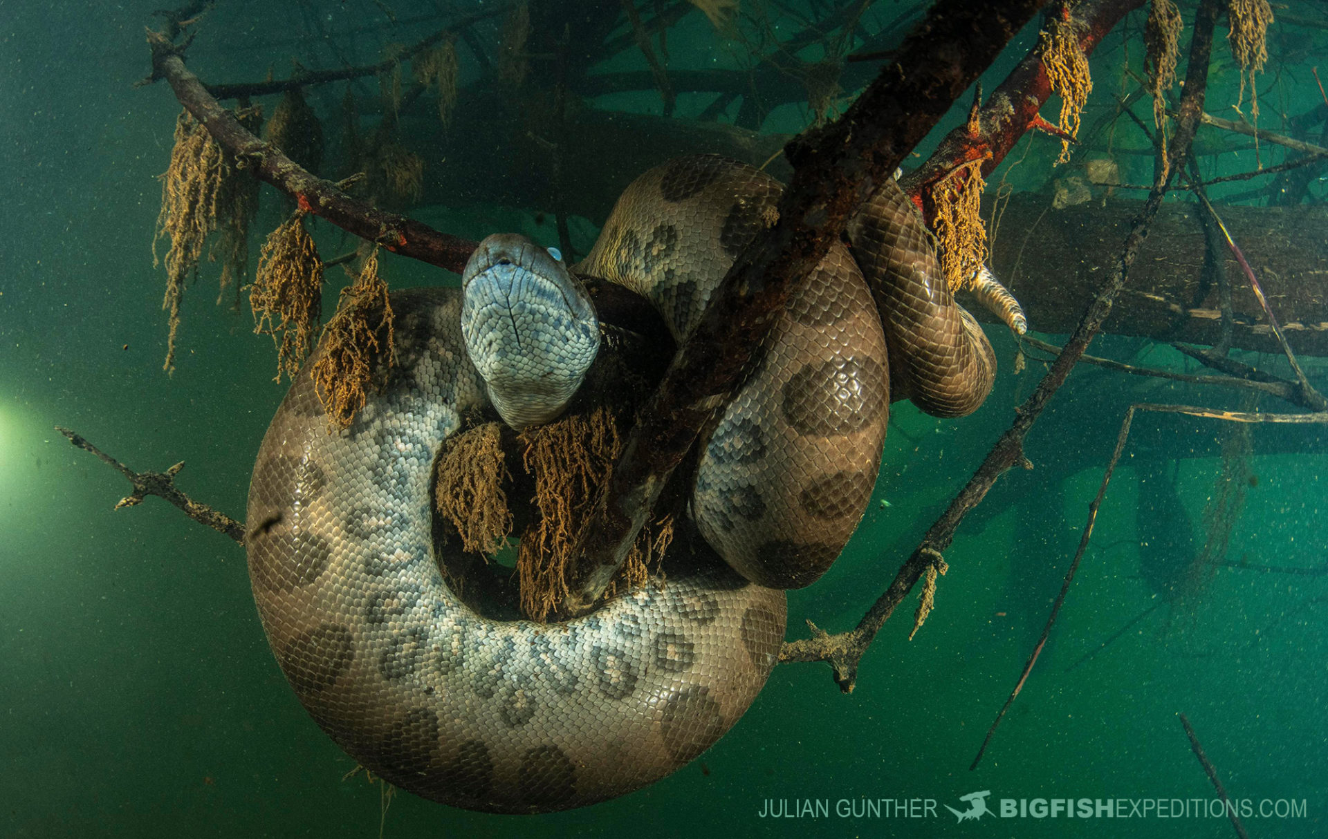 Anaconda diving in Brazil