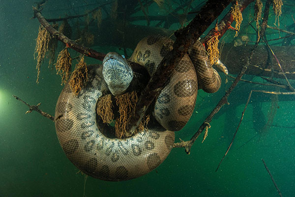 Diving with anacondas in Brazil
