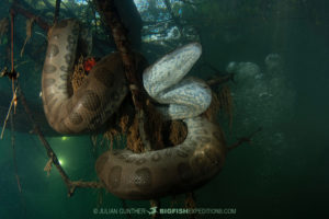 Diving with Anacondas