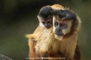 Capuchin Monkeys in Bonito