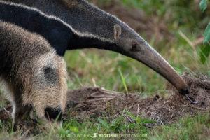 Giant Anteater in Bonito