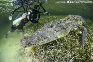 Diving with American crocodiles