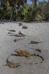 Green Iguanas at Chinchorro Atoll