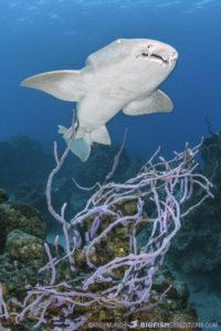 Diving with nurse sharks at Chinchorro Atoll