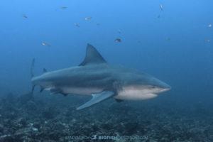 Bull Shark Diving in Costa Rica.