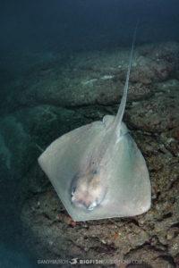 Stingray Diving in Costa Rica.